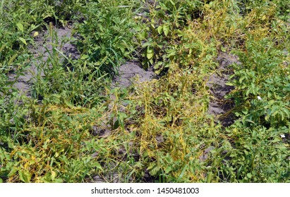 Potato plants are damaged due to сonvolvulus arvensis on the field. Convolvulus arvensis (field bindweed) is one of the most serious weeds of agricultural fields of the world