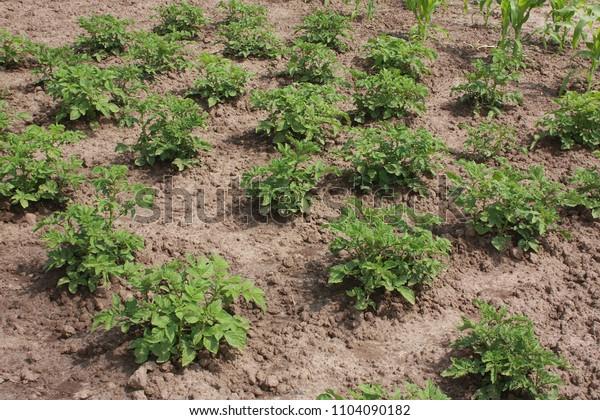 Potato plants in the garden