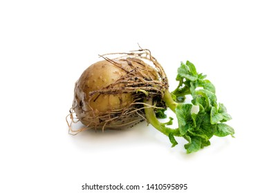 Potato  tuber with new green sprouts isolated on white. Ready to plant.