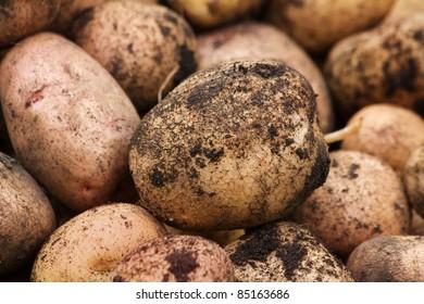 Potato tubers ripe