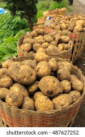 Potatoes in a basket after harvesting with green leave background in a vertical format