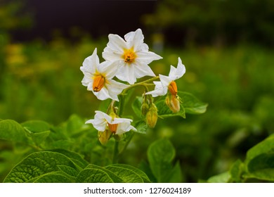 potatoes are blooming close-up. Summer, agriculture