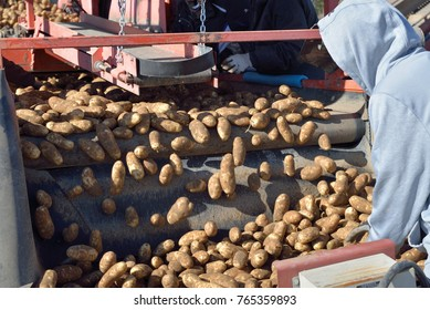 Potatoes fall off conveyors and are sorted by workers.