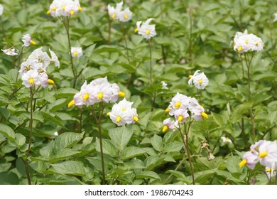 Potatoes field, blossoming, cute flowers