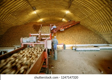 Potatoes, fresh from harvest in the field, rushing by on conveyor machinery, and being stacked in an insulated cellar for winter storage.
