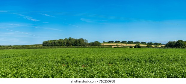 Potatoes growing in the field, English countryside, Norfolk UK