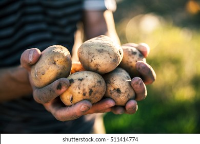 Potatoes grown in his garden. Farmer holding vegetables in their hands. Food