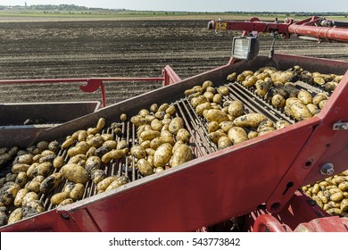 Potatoes harvesting in the summer.