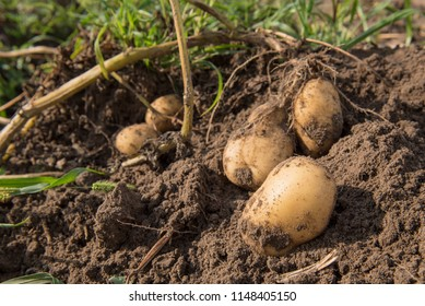 Potatoes on the field.