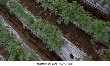 Potatoes plantation in row. Bird view angle photgraphy.