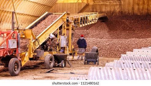 Potatoes rushing by on conveyor machinery, and being stacked in a cellar for winter storage.