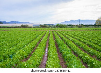 Potatoes sown in lines in a village