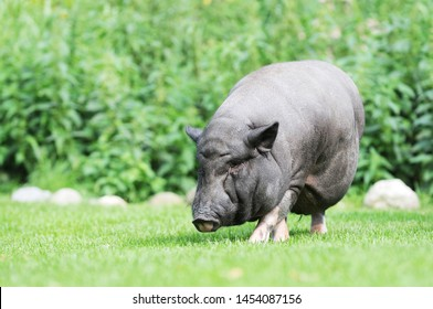 potbellied pig grazing on pasture