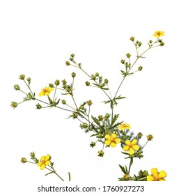 Potentilla argentea plant with yellow five-petalled flowers, isolated on white background. Flowering sprig of meadow weed in green buds and leaves close-up