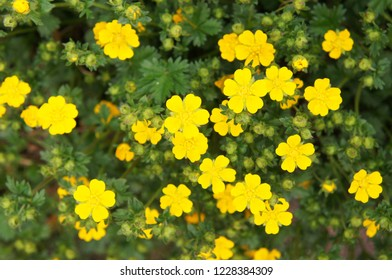 potentilla fruticosa goldfinger many yellow flowers with green