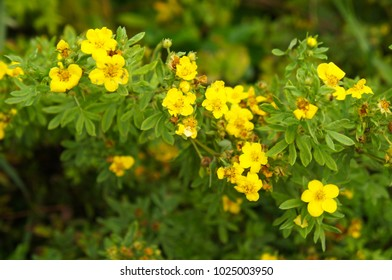 Potentilla fruticosa goldfinger yellow flower with green