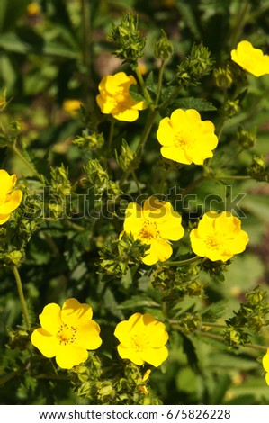 Potentilla fruticosa goldfinger yellow flowers green stock photo potentilla fruticosa goldfinger yellow flowers with green vertical mightylinksfo