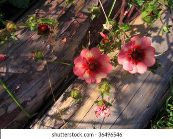 Potentilla nepalensis flowers and bud with decorative logs on background
