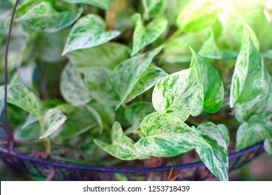 """Pothos or another name""""Devil ivy"""""""