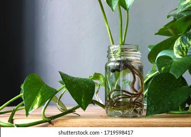 Pothos epipremnum aureum cuttings propagation in a jar against background plant leaves