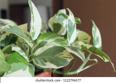 Pothos Epipremnum aureum houseplant in terra cotta pot closeup