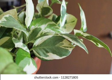 Pothos Epipremnum aureum houseplant in terra cotta pot nature closeup