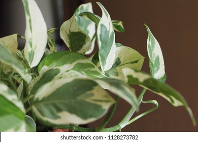 Pothos Epipremnum aureum houseplant in terra cotta pot nature leaves closeup