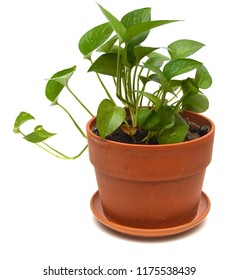 Pothos homeplant pot