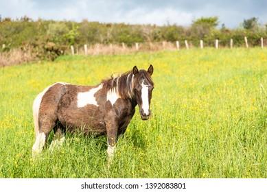 Potok horse in the wild. Basque country