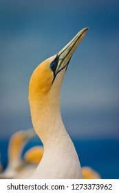 Potrait of beautiful australasian gannet in Hastings, NZ