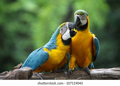 The potrait of Blue & Gold Macaw concept love