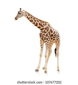 Potrait Of A Giraffe On White Background
