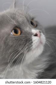 Potrait of gray cat's innocent face