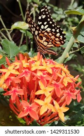 potrait photo of a butterfly in a flower of chinese ixora or Ashoka flower
