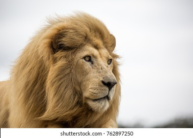 Potrait of a regal male lion with large bushy mane staring into the distance