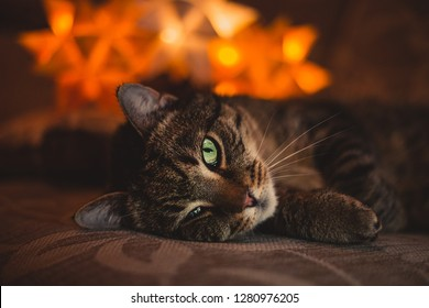 Potrait of stripped cat laying on the sofa  with orange lights on backround. Old cat with an injured eye laying in dark with lamp light on behind. Close up of illuminated tomcat.