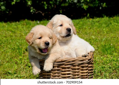 Potrait of two puppies Golden Retriever dog in outdoors.