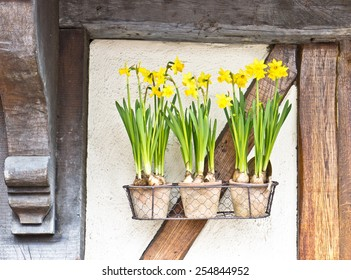 Pots of daffodils hanging on a wall