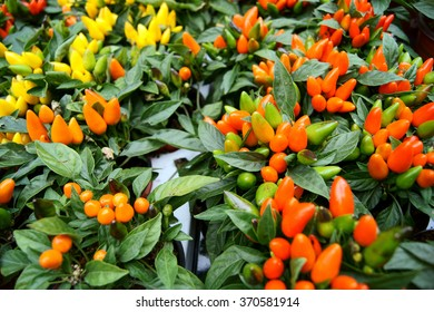 Pots with ornamental pepper plants with yellow, orange and red fruits in a garden center