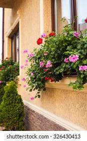Pots with pelargonium plants on a windowsill. Before beige building facade planted arborvitae.
