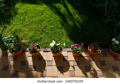 Pots with petunia flowers standing on the ground in home garden next to green grass lawn