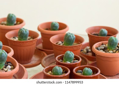 Pots with peyote cactus grown cultivated at home. Psychoactive curative medicinal plants concept. Indigenous North American rituals.