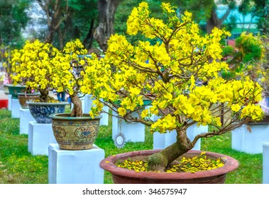 Pots yellow apricot flowering bonsai in spring Vietnam with modern tree is reaching its certainly bloom bright yellow. This is the symbolic flower for Tet in Vietnam