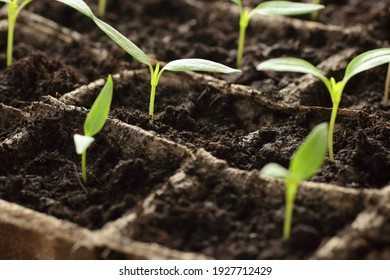 Pots with young seedlings of sweet pepper on windowsill in the spring, rows of plants in cardboard peat pots, closeup, copy space, vertical, eco agriculture, house planting and homegrown vegs concept