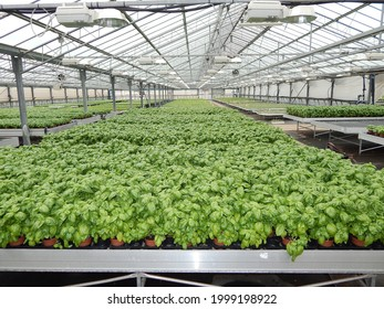 Potted basil plants in hothouse