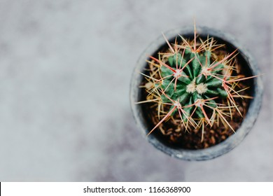 Potted cactus house plant on grey background. Detailed image with grey background