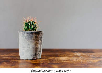 Potted cactus house plant on grey background. Detail of cactus plant in grey pot on wooden table.