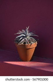 Potted cactus on a ledge in front of a wall painted in bright pink