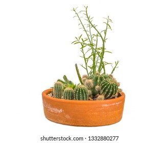 Potted cactus on white background.