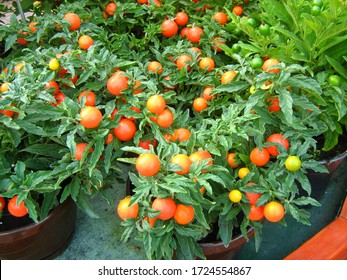 Potted cherry tomato plants grown at home